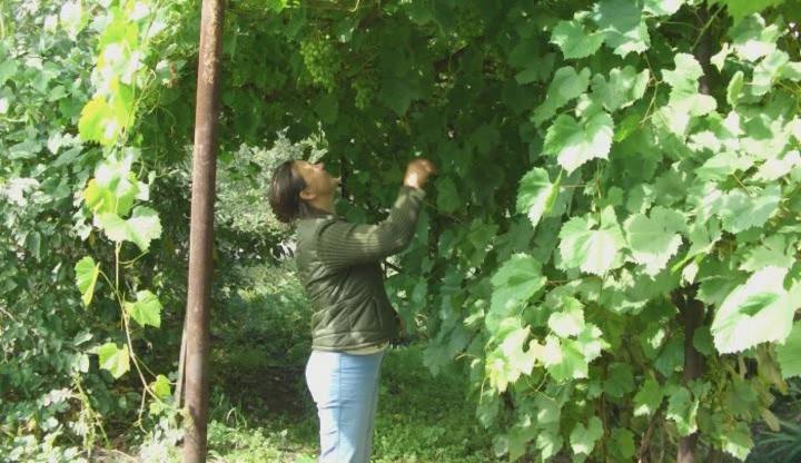 Выращивание винограда в сибири для начинающих фото 38